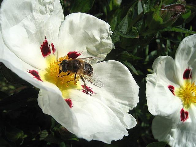 """Résultat de recherche d'images pour """"Ciste avec des abeilles"""""""