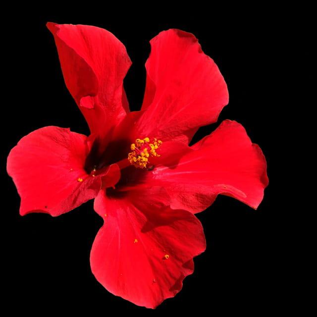 Hibiscus rouge par patrick desmettre sur l 39 internaute for Hibiscus exterieur rouge