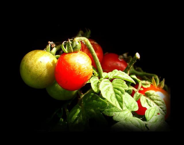 La tomate 1230031