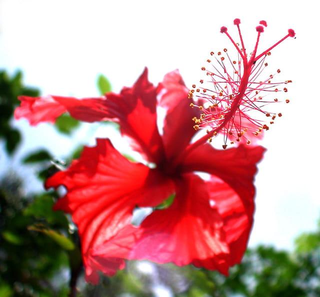 Hibiscus rouge par michel marie solito de solis sur l for Hibiscus exterieur rouge