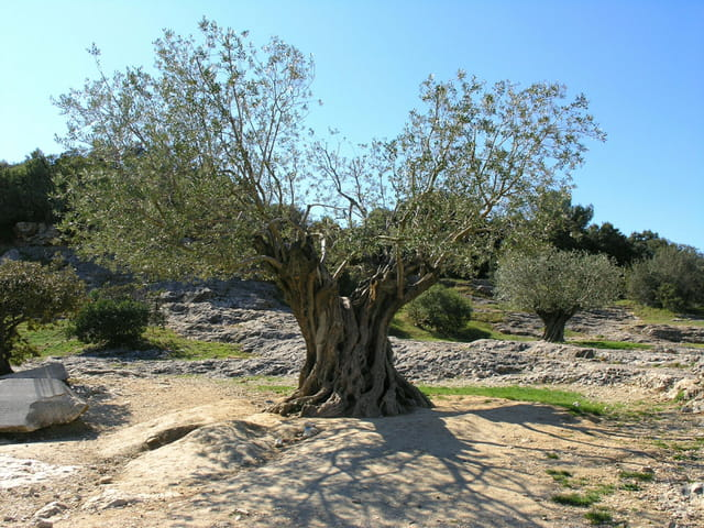 1098 ans et toujours des olives