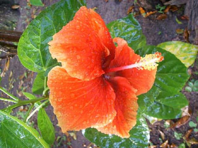 Hibiscus rouge par j r me hoffart sur l 39 internaute for Hibiscus exterieur rouge