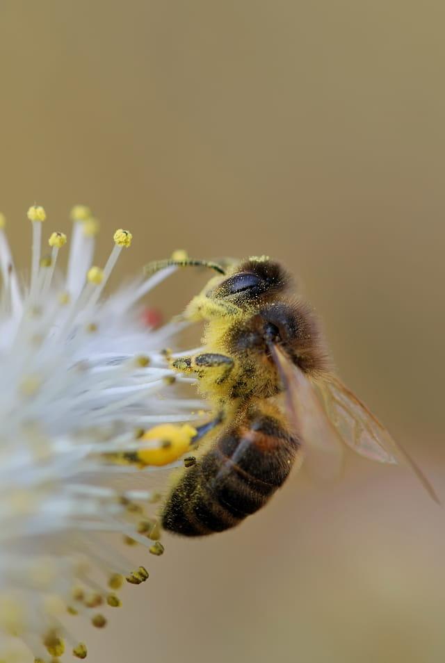 Les abeilles. 1389284