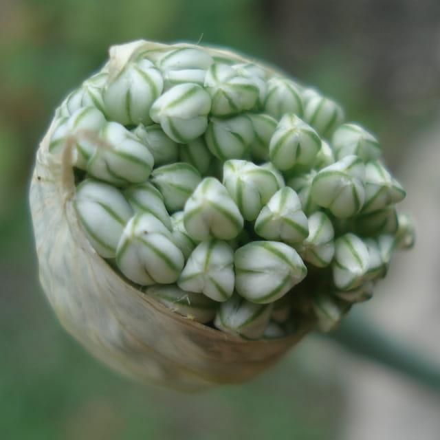 Eclosion fleur d'oignon