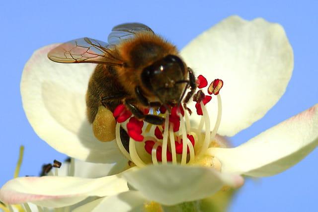 Les abeilles. 1458071