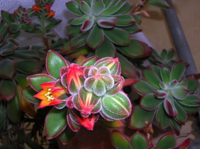 plante grasse en fleur par evelyne alizant sur l 39 internaute. Black Bedroom Furniture Sets. Home Design Ideas