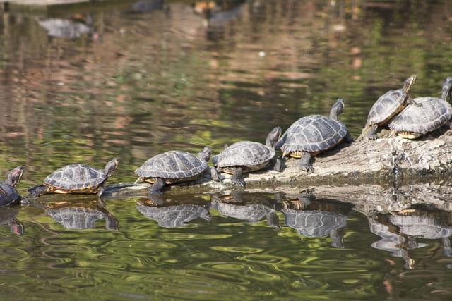 Les tortues. 1429090