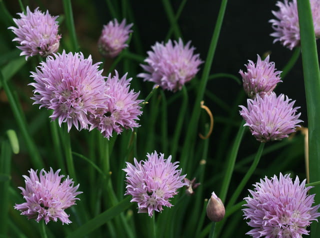Fleur d'oignons