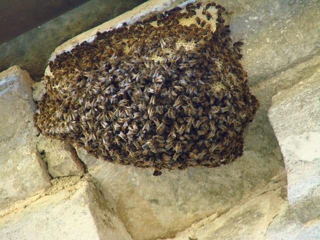 Les abeilles. 1410456