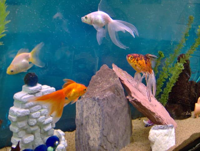 Les poissons voile de chine par robert violin sur l 39 internaute for Aquarium poisson rouge sale