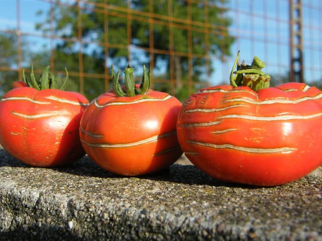 La tomate 1563940