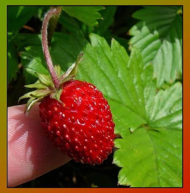 Les fraisiers, et ses fruits 1402736