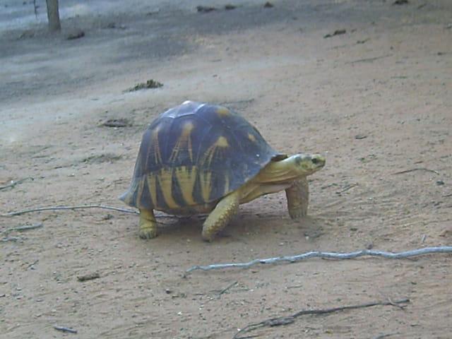 Les tortues. 1295165