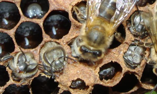 Les abeilles. 1334321