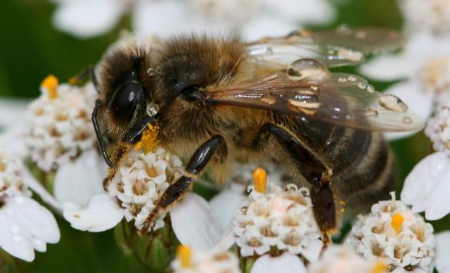Les abeilles. 1555748
