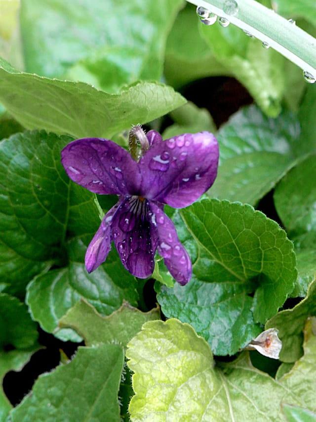 rêve 2..la violette 1451962