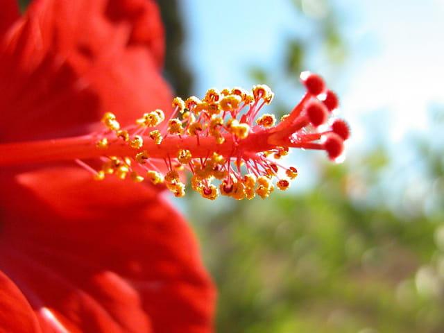 Hibiscus rouge de chine par julien bloede sur l 39 internaute for Hibiscus exterieur rouge