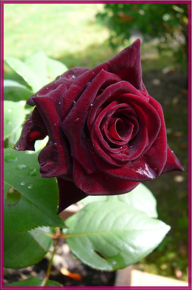 une des plus belles roses par jacqueline dubois sur l 39 internaute. Black Bedroom Furniture Sets. Home Design Ideas