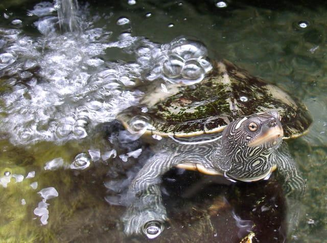Les tortues. 1470358