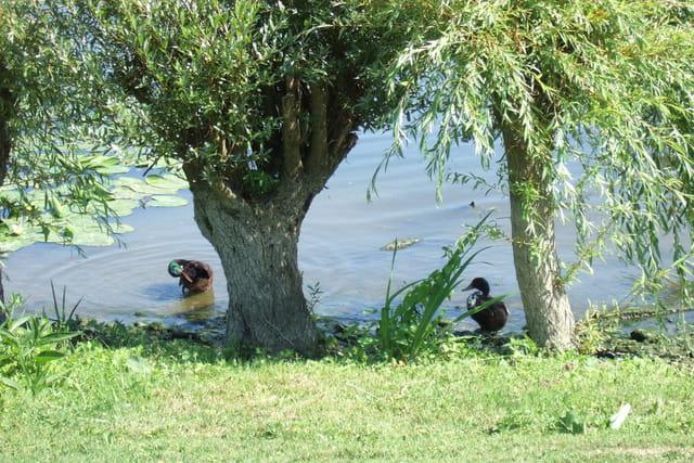 2 canards sous un saule