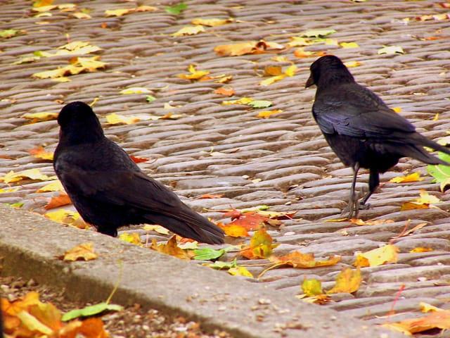 2 corbeaux
