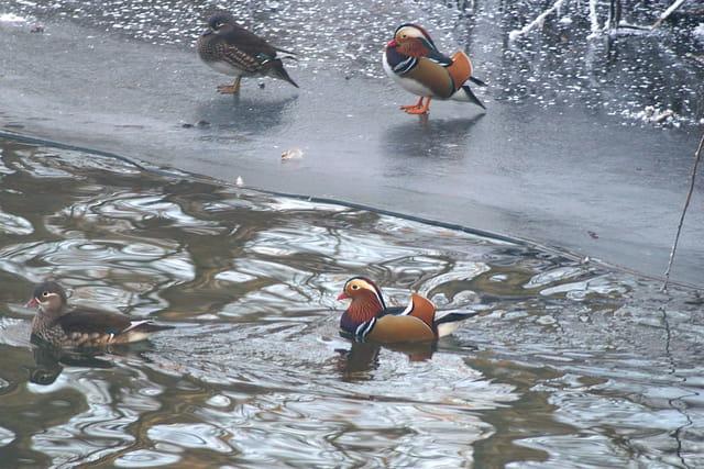2 couples de canards mandarin
