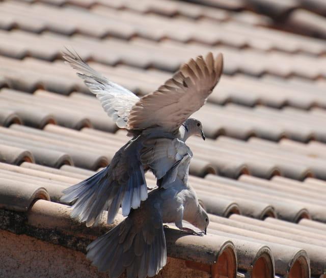 2 pigeons s'aimaient d'amour tendre...