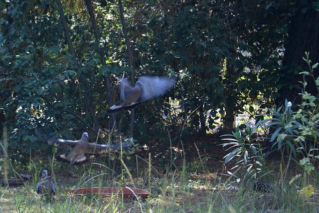 3 palombes dans le jardin