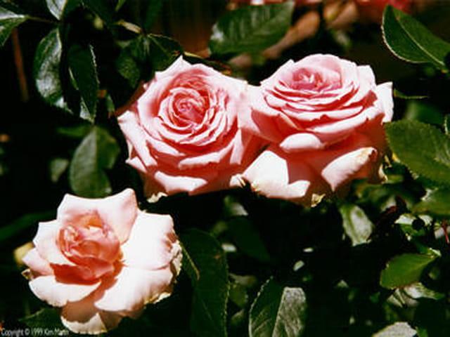 3 roses de Belgique