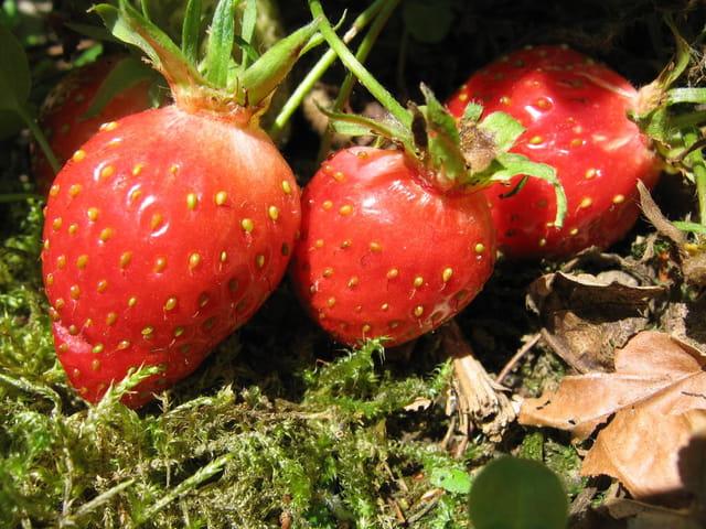 Les fraisiers, et ses fruits 958003
