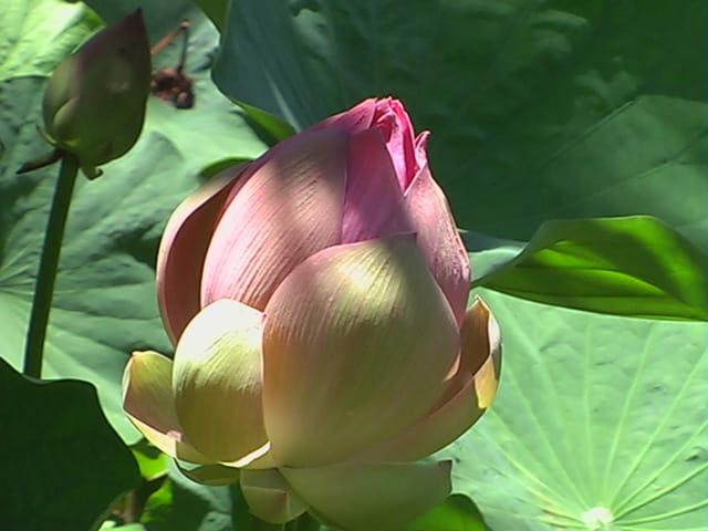 Bouton De Fleur De Lotus Par Chantal Bauler Sur L Internaute