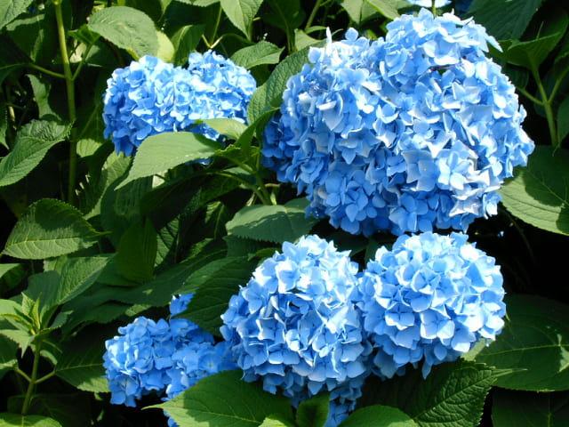 belles fleurs bleues par richard hermant sur l 39 internaute. Black Bedroom Furniture Sets. Home Design Ideas