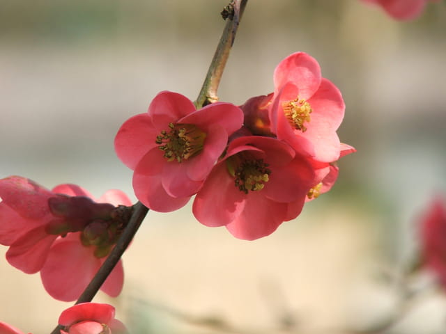 Fleurs de pommier du japon par amandine robin sur l 39 internaute - Pommier du japon fruit ...