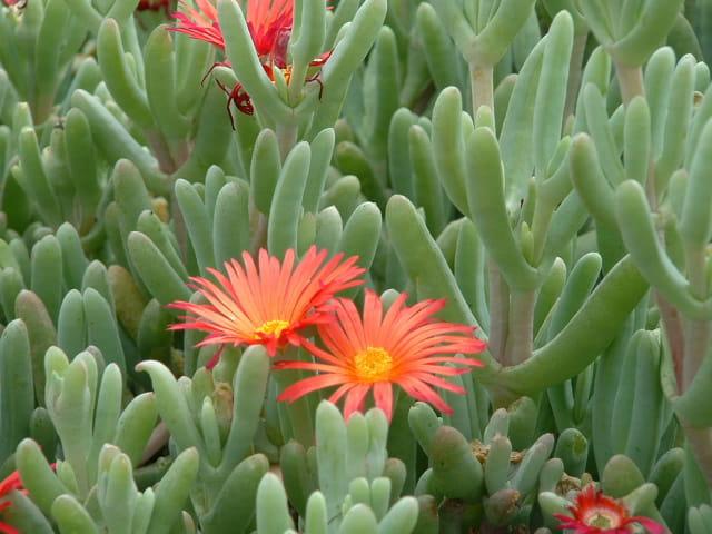 Plante grasse a fleur mauve annuelle lavatera trimestris semis culture varits marvelous plante - Plante grasse retombante ...