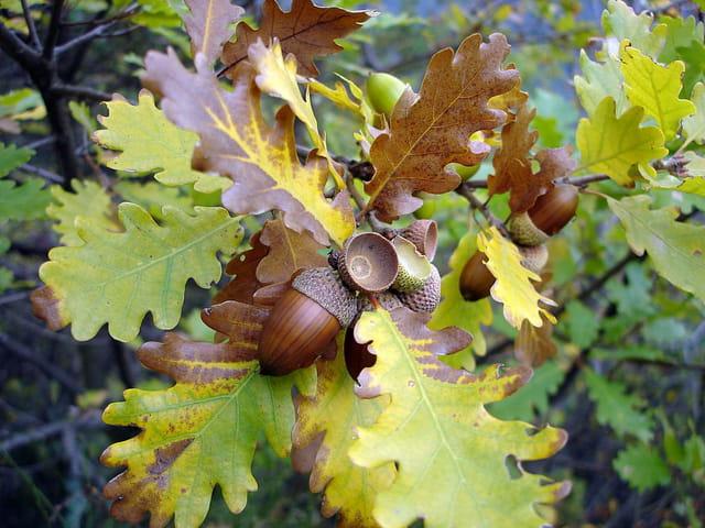Le chêne et son fruit 895794