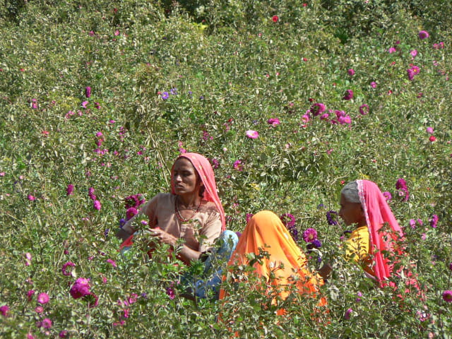 A Field of Roses in India