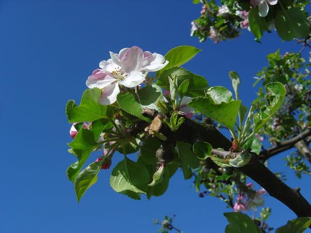 A fleur de pomme