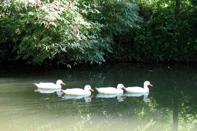 A la queue les canards