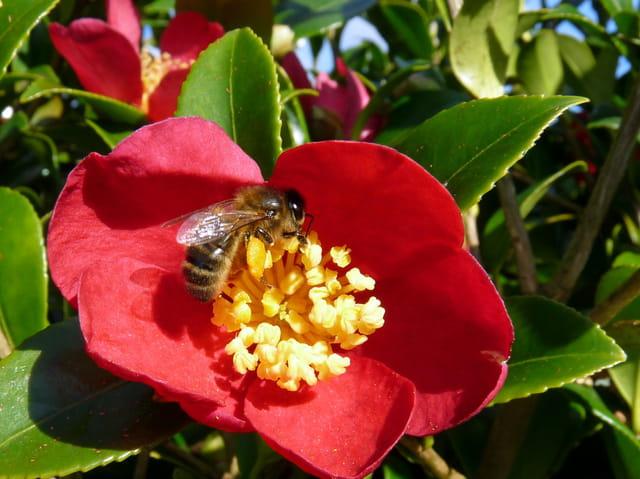Abeille  butinant une fleur de camélia
