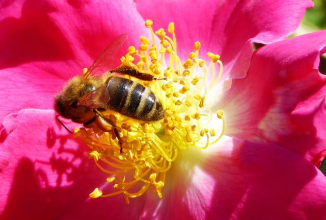 Abeille butineuse chargée de pollen - 2