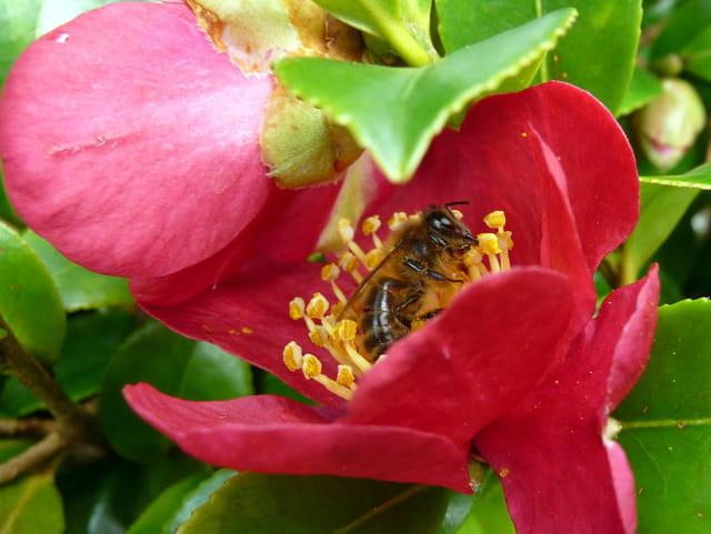 Abeille et fleur de camélia