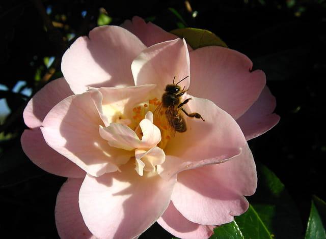 Abeille sur fleur de camélia