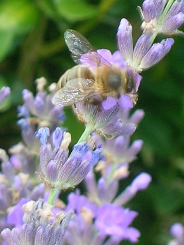 abeille sur la lavande