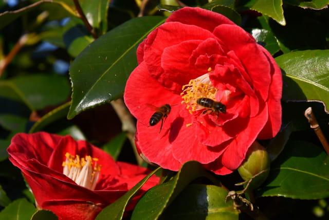 Abeilles et fleurs de camélia