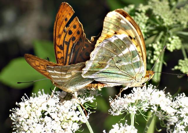 Accouplement de papillon Tabac d\'Espagne 2