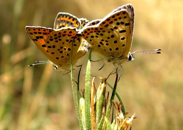 Accouplement de papillons