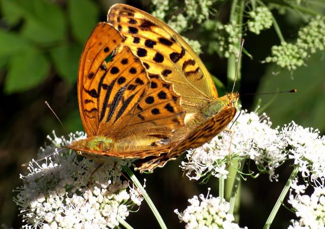 Accouplement de papillons Tabac d\'Espagne