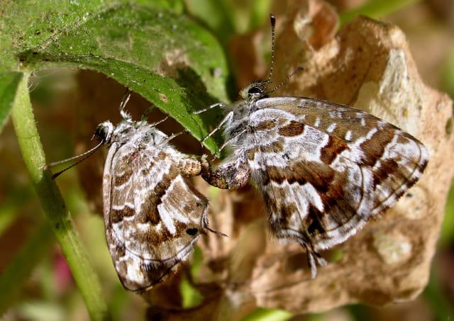 Accouplement  des derniers papillons d'automne