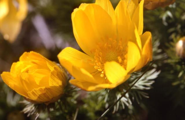 Adonis du printemps