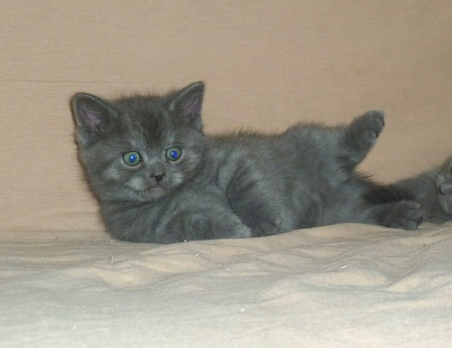 Adorables chatons scottish straight bleu